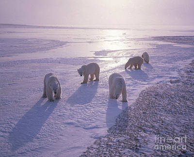 Bear Photograph - Polar Bears by Hans Reinhard