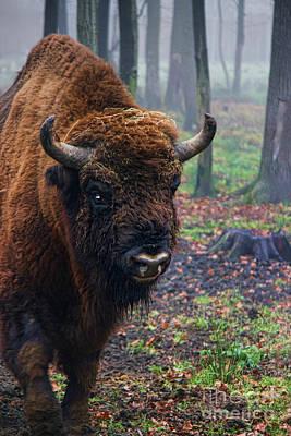 Polish Bison Print by Mariola Bitner