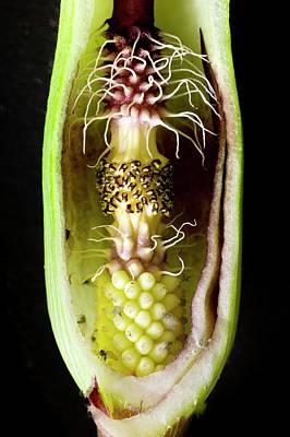 Mechanism Photograph - Pollination Mechanism Of Arum Apulum by Dr Jeremy Burgess