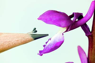 Purple Orchids Photograph - Pollination Of Orchis Mascula by Dr Jeremy Burgess