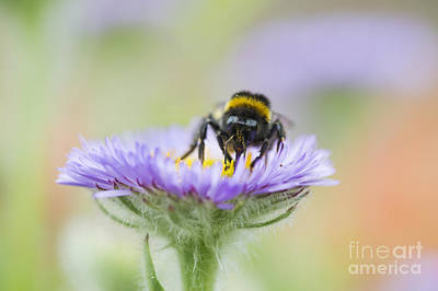 Aster Photograph - Pollinator  by Tim Gainey