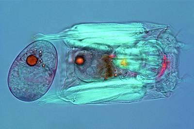 Microscopic Photograph - Polyarthra Rotifer by Marek Mis