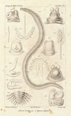Polychaete Worms Print by King's College London