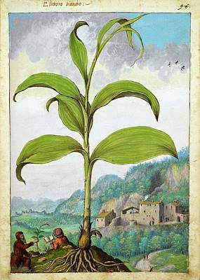 Polygonatum Bianco Plant Print by British Library
