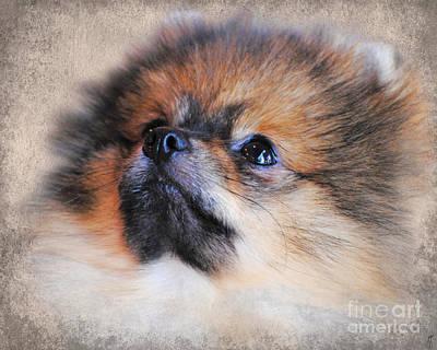 Little Dogs Photograph - Pomeranian by Jai Johnson