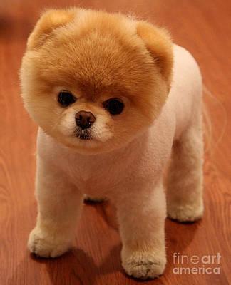 Pomeranian Mixed Media - Pomeranian Puppy  by Marvin Blaine