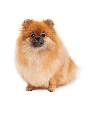 Pomeranian Photograph - Pomeranian Sitting Looking Forward by Susan  Schmitz