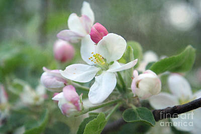 Aimelle Photograph - Pomme D Api 01 - S01bt01c by Variance Collections