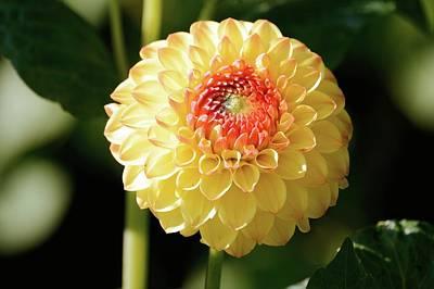 Pompons Photograph - Pompon Dahlia Flower by D C Robinson