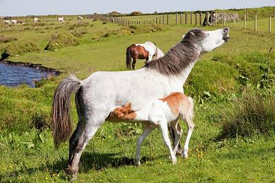 Bodmin Photograph - Ponies And Foal On Bodmin Moor by Ashley Cooper