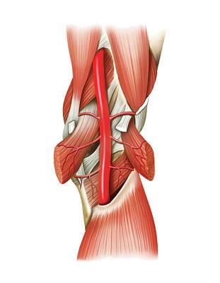 Popliteal Artery Print by Asklepios Medical Atlas