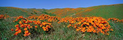 State Flowers Photograph - Poppies And Wildflowers, Antelope by Panoramic Images
