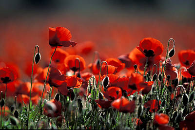 Europe Provence Aix-en-provence Photograph - Poppies Field In Provence by Gilles Martin-Raget