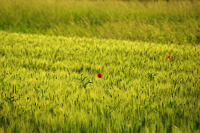 Poppin' The Barley Field Original by Philippe Meisburger