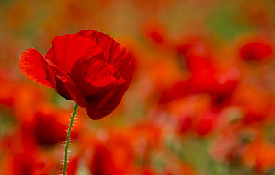 Flower Photograph - Poppy by Carolyn Eaton