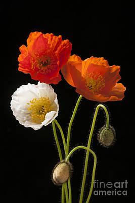 Poppy Flowers On Black Print by Elena Elisseeva