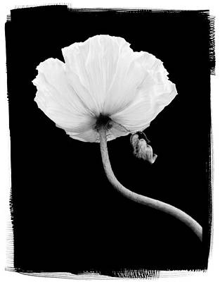 Wall Decor Photograph - Poppy by Patrick Chuprina
