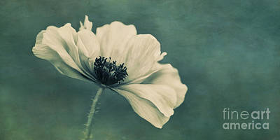 White Flower Photograph - Poppy by Priska Wettstein