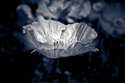 Poppy Photograph - Poppy Sunlight by Isabel Laurent
