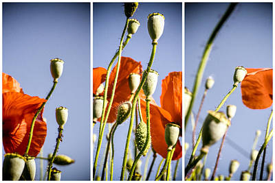 A Sunny Morning Photograph - Poppy Triptych by Georgia Fowler