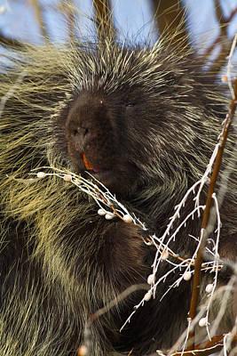 Porcupine  Original by Bryant Aardema