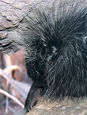 Porcupine Print by Kume Bryant