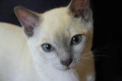Portrait Blue Eyed Kitten Print by Linda Phelps