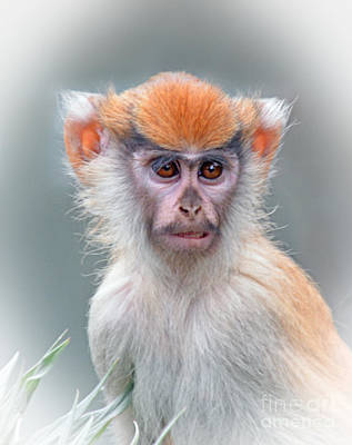 Eyes Photograph - Portrait Of A Baby Patas Monkey by Jim Fitzpatrick