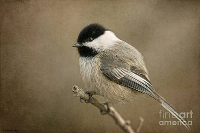 A Moment Photograph - Portrait Of A Blackcapped Chickadee by Beve Brown-Clark Photography
