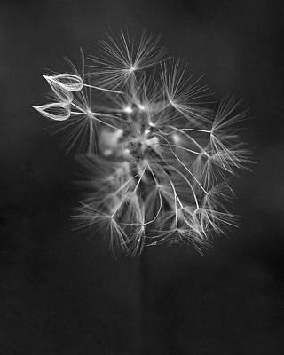 Gray Photograph - Portrait Of A Dandelion by Rona Black