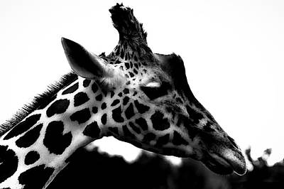 Giraffe Photograph - Portrait Of A Giraffe by Martin Newman