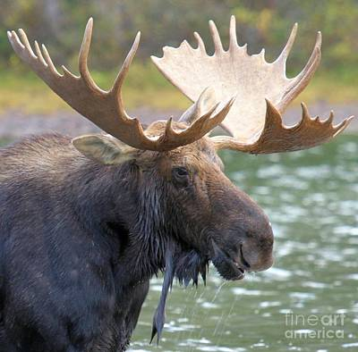 Moose In Water Photograph - Portrait Of A Glacier Moose by Adam Jewell
