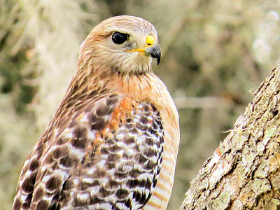 Birds Photograph - Portrait Of A Hawk by Zina Stromberg