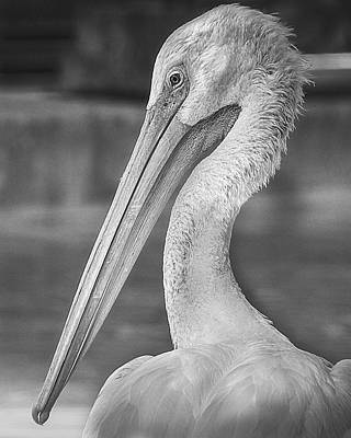 Black And White Bird Photograph - Portrait Of A Pelican by Jon Woodhams