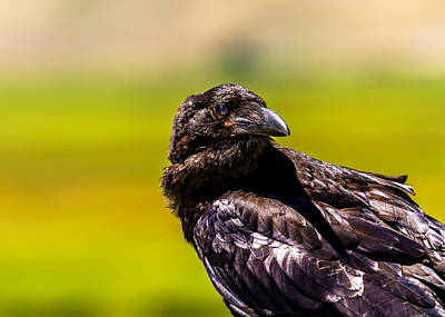 American Crow Photograph - Portrait Of A Raven by TL  Mair