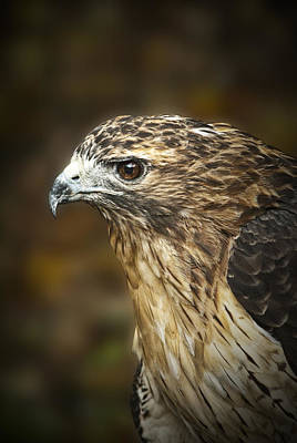 Red Tail Hawk Photograph - Portrait Of A Red Tail Hawk by Randall Nyhof
