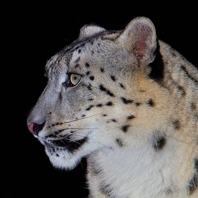 Portrait Of A Snow Leopard Print by John Absher