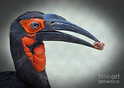 Hornbill Digital Art - Portrait Of A Southern Ground Hornbill by Jim Fitzpatrick