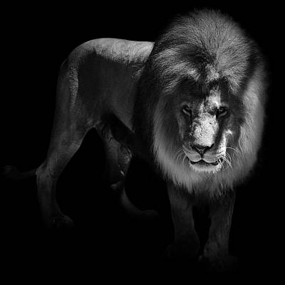 Portrait Of Lion In Black And White Print by Lukas Holas