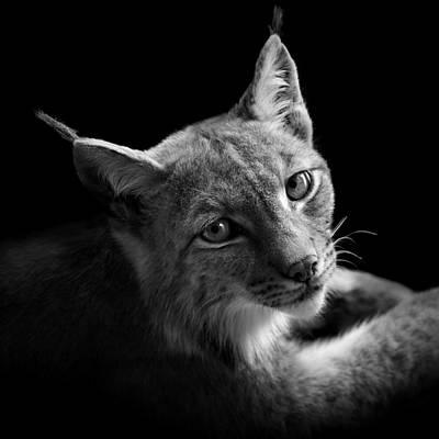 Grayscale Photograph - Portrait Of Lynx In Black And White II by Lukas Holas