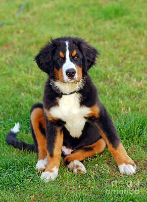 Purebred Photograph - Portrait Of Puppy Bernese Mountain Dog  by Michal Bednarek