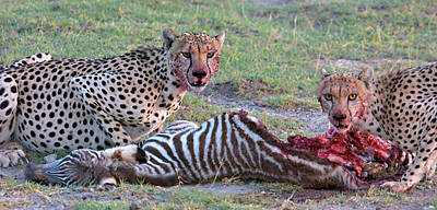 Part Of Photograph - Portrait Of Two Cheetahs Eating by Panoramic Images