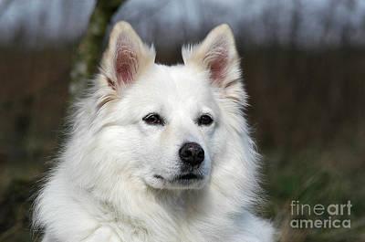 Portrait White Samoyed Dog Print by Dog Photos