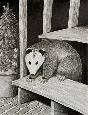 Marsupial Drawing - Possum by Jeanette K