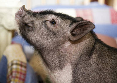 Potbelly Pig Portrait Print by Susan Stone