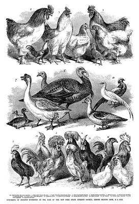 Bantam Painting - Poultry, 1869 by Granger