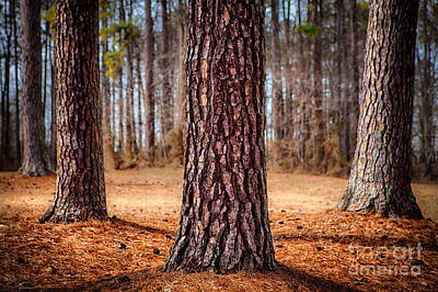 Greensboro Photograph - Powerful Pines I by Dan Carmichael