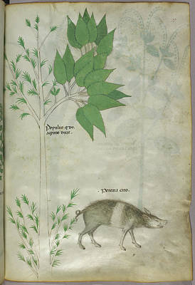 Pplant And A Boar Print by British Library