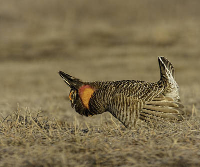 Matting Photograph - Prairie Chicken-9 by Thomas Young