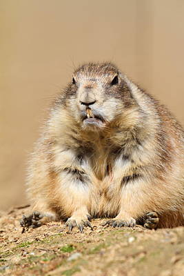 Dogs Photograph - Prairie Dog - National Zoo - 011311 by DC Photographer